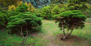 Beautiful yew trees Royalty Free Stock Photo