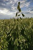Amazing Oats. Great yield , and beautiful view. Beautiful yield with great view stock images