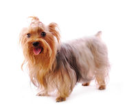 Beautiful Yorkie Royalty Free Stock Images