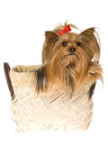 Beautiful Yorkie sitting in brown basket Royalty Free Stock Photography