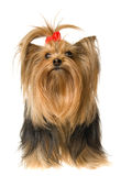 Beautiful Yorkie on white background Royalty Free Stock Photos