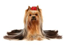 Beautiful Yorkshire Terrier. Isolated on white background Stock Photo