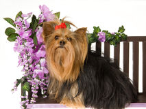 Beautiful Yorkshire terrier Stock Photo