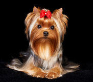 Beautiful Yorkshire Terrier Stock Photography