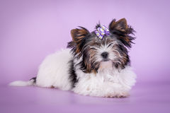 Beautiful Yorkshire Terrier Dog on color background.  Royalty Free Stock Images