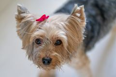 Yorkshire Terrier with pink ribbon royalty free stock photography