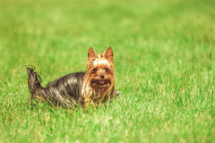Beautiful yorkshire terrier puppy dog playing and running. In the grass with mouth open and tongue out Royalty Free Stock Photography
