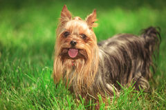Beautiful yorkshire terrier puppy dog standing in the grass Stock Photo