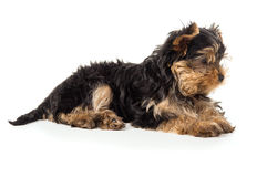 Beautiful Yorkshire terrier puppy isolated Royalty Free Stock Photos