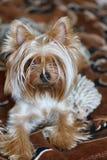 Beautiful Yorkshire Terrier. Stock Photo