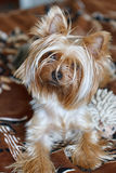 Beautiful Yorkshire Terrier. Royalty Free Stock Photo
