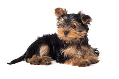 Beautiful Yorkshire terrier puppy lying Royalty Free Stock Images