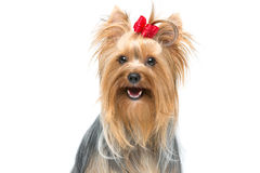 Beautiful yorkshire terrier sitting Stock Photography