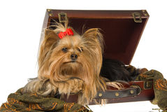 Beautiful Yorkshire terrier in suitcase Stock Photography