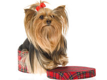 Beautiful Yorkshire terrier in tartan box Royalty Free Stock Images