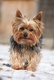 Beautiful Yorkshire Terrier in winter Royalty Free Stock Images
