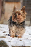 Beautiful Yorkshire Terrier in winter Royalty Free Stock Image