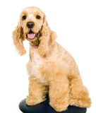 Beautiful young american cocker spaniel Royalty Free Stock Photo