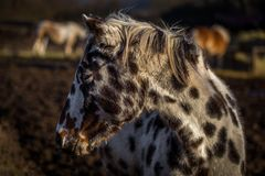 Beautiful young appaloosa horse portrait in the fields stock photo