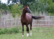 Beautiful young arabian horse on meadow summer time Stock Photo