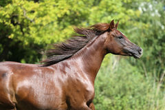 Beautiful young arabian mare galloping on pasture Royalty Free Stock Photos