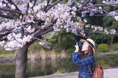 Beautiful young Asian woman is taking photo of Cheery Blossom stock image