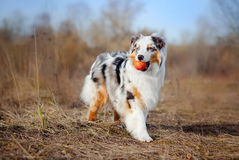 Beautiful Australian Shepherd walking Stock Photos