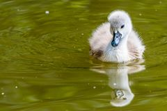 Free Beautiful Young Baby Swan Is Swimming On A Water. Royalty Free Stock Photo - 123829015