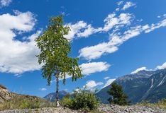 Birch in the mountain. Beautiful young birch in the Swiss mountain and blue summer sky. City of Leukerbad, canton Valais, Switzerland Royalty Free Stock Image