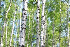 Beautiful young birch trees with green leaves royalty free stock photo