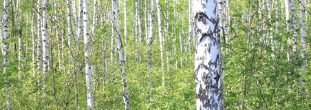 Free Beautiful Young Birch Trees With Green Leaves Stock Photo - 113795130