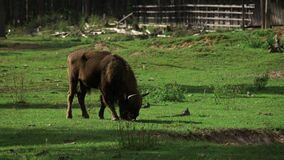 Beautiful young bison grazes in a meadow green grass. The zubr, or European bison is a species of animal in the genus