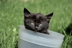 Beautiful young black and brown cat inside bucket. Small cute kitten playing in a flower pot Stock Image