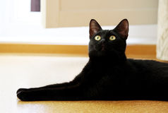 Beautiful young black cat lies on  cork floor in apartment. Stock Photos
