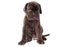 Beautiful young black puppy italian mastiff cane corso Stock Photo