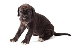 Beautiful young black puppy italian mastiff cane corso. (1 month) on white background Stock Images