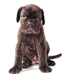 Beautiful young black puppy italian mastiff cane corso (1 month). On white background Royalty Free Stock Image