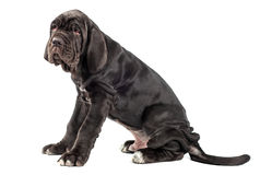 Beautiful young black puppy italian mastiff cane corso (3 month). On white background Royalty Free Stock Images