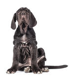 Beautiful young black puppy italian mastiff cane corso (3 month). On white background Stock Images