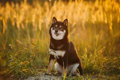Beautiful Young Black And Tan Shiba Inu Dog Sitting Outdoor In G royalty free stock image