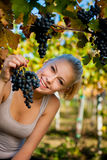 Beautiful young blonde woamn harvesting grapes in vineyard Stock Photos