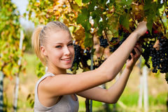 Beautiful young blonde woamn harvesting grapes in vineyard Stock Images