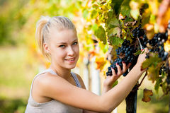 Beautiful young blonde woamn harvesting grapes in vineyard Stock Image