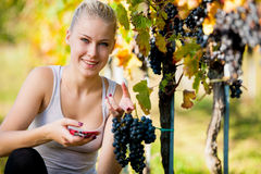 Beautiful young blonde woamn harvesting grapes in vineyard Royalty Free Stock Images