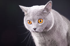 Beautiful young British blue cat on black Stock Photography