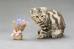 Beautiful young British cat marble color Stock Image
