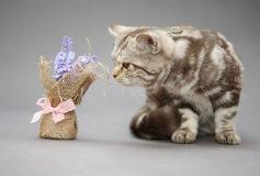 Beautiful young British cat marble color Stock Images