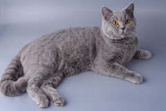 Beautiful young British cat sprawled on a gray background Stock Image
