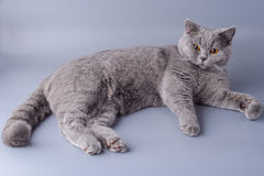 Beautiful young British cat sprawled on a gray background Royalty Free Stock Images