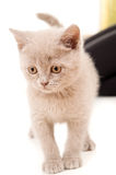 Beautiful young British kitten Royalty Free Stock Image